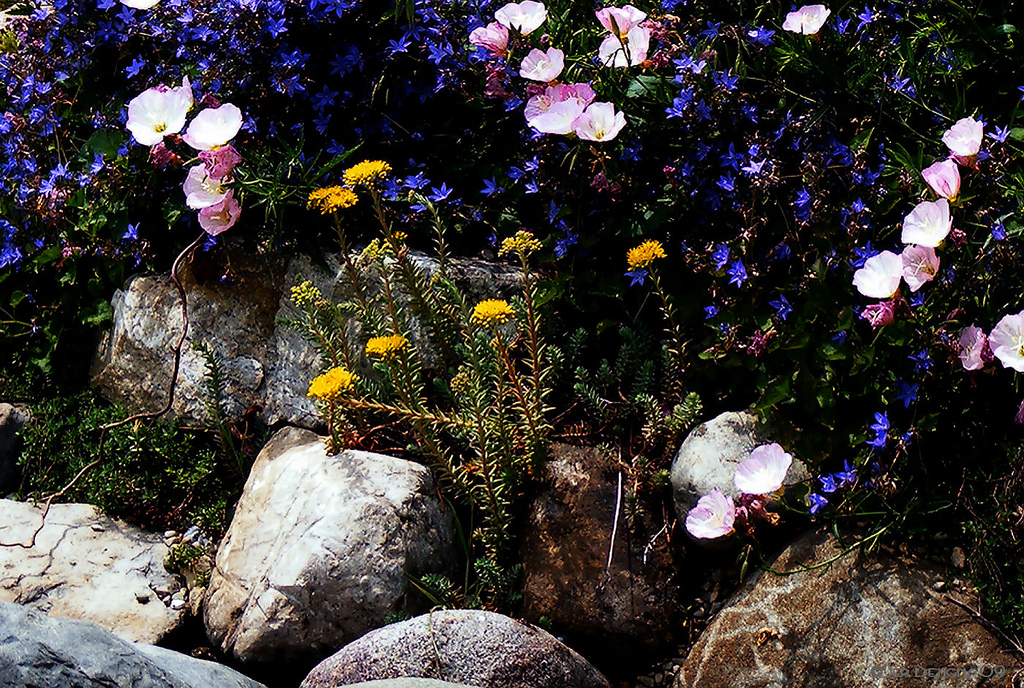 flowers and plants for rock gardens photo - 1