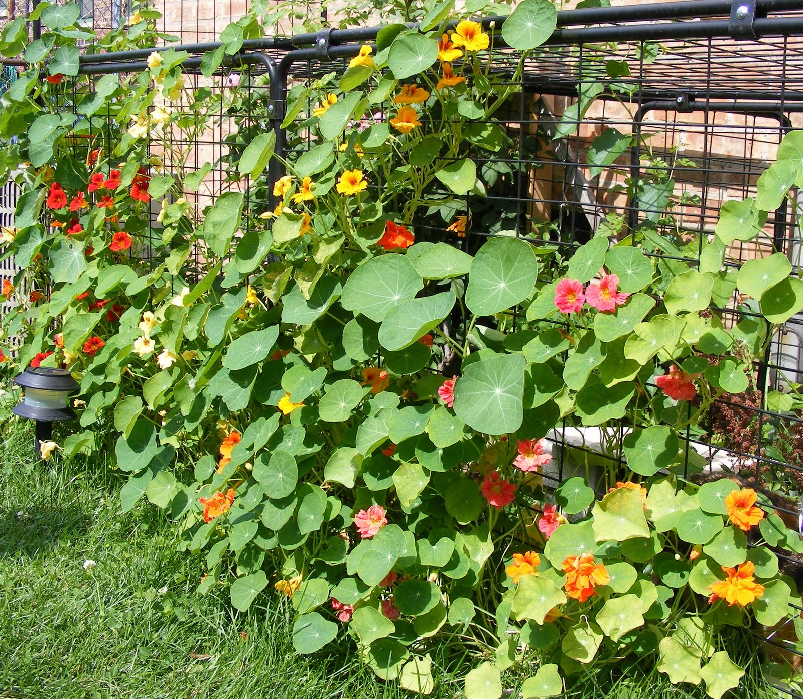 vegetable garden chain link fence photo - 1